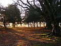 Early morning on the edge of Anses Wood, New Forest - geograph.org.uk - 151038.jpg