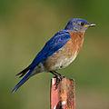 Eastern Bluebird-27527-7.jpg