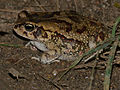 Eastern Olive Toad (Amietophrynus garmani) (12619215193).jpg