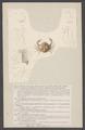 Ebalia brayerii - - Print - Iconographia Zoologica - Special Collections University of Amsterdam - UBAINV0274 006 01 0090.tif