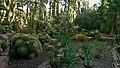 Echinocactus grusonii (Huerto del Cura, Elche).jpg