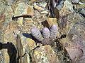 Echinocereus pectinatus (5730002946).jpg