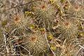 Echinocereus viridiflorus (3489752704).jpg