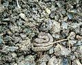 Echis carinatus in CME Pune.jpg