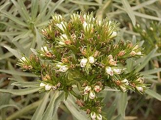 Echium brevirame - Image: Echium brevirame (Cueva del Belmaco) 01