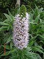 Echium virescens.jpg