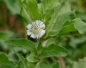 Eclipta - Eclipta prostrata (marsh daisy)