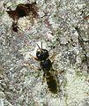 Ectemnius sp. below nest hole in old plum tree - Flickr - gailhampshire.jpg