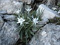 Edelweiss del Bondon - panoramio.jpg