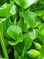 Eichhornia crassipes vattenhyacint Pontederiaceae P6260209 (49260410068).jpg