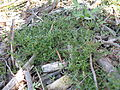 Einadia nutans subsp nutans plant1 (16126781028).jpg