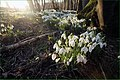 Eirlysiau. Snowdrops - geograph.org.uk - 357106.jpg