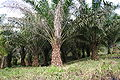 Elaeis guineensis MS 3467.jpg
