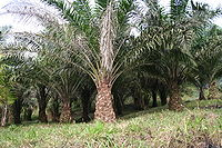 Palm oil tree, Elaeis guineensis