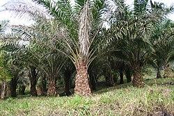 palmolja bra eller dåligt