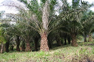 Social and environmental impact of palm oil - Oil palms (Elaeis guineensis).