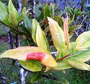 Elaeocarpus bojeri - Image: Elaeocarpus bojeri foliage Mauritius