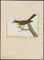 Elainia cayanensis - 1700-1880 - Print - Iconographia Zoologica - Special Collections University of Amsterdam - UBA01 IZ16500297.tif