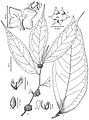 Elatostema malipoense & Elatostema pleiophlebium.jpg