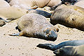 Elephant Seals (5).jpg