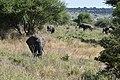 Elephants, Tarangire National Park (9) (28596530312).jpg