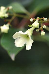 Emmenopterys henryi - flower