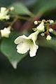 Emmenopterys henryi - flower.jpg