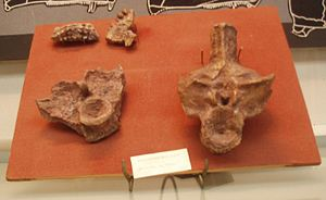 Anthracosauria - Empedias molaris bones