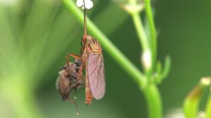 File:Empis ferig.ogv