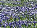 Ennis, TX wildflowers.jpg