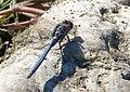 Epaulet Skimmer. Orthetrum chrysostigma , male (33026945696).jpg