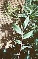 Epidendrum unguiculatum.jpg