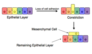 Gastrulation - Epithelial to Mesenchmyal Cell Transition – loss of cell adhesion leads to constriction and extrusion of newly mesenchymal cell.
