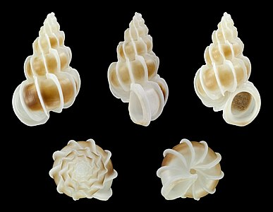 A shell of Epitonium pallasi (Kiener, 1838); Length 2.2 cm; Originating from the Indo-Pacific