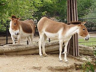 320px-Equus_kiang_holdereri01 dans ANE