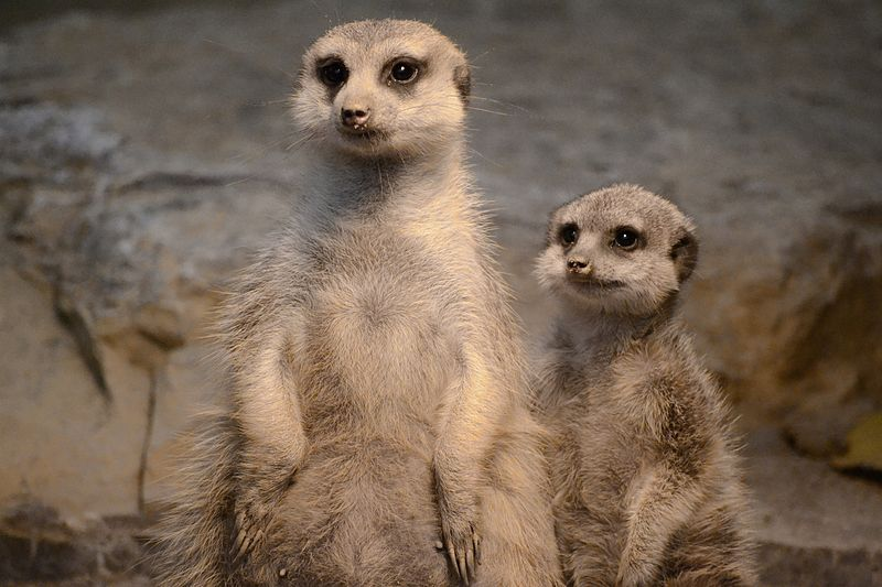 Meerkat GIFs - Find & Share on GIPHY - GIPHY | Search All ...