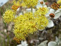 Eriogonum crocatum 2