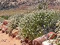 Eriogonum fasciculatum 10.jpg
