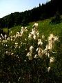 Eriophorum latifolium IMG 4466.jpg