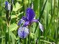 Eriskircher Ried Irisblüte 152.jpg