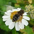 Eristalis sp - Flickr - gailhampshire (2).jpg