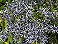 Eryngium Sea Holly Blue Thistle Sundial Garden Hatfield House Hertfordshire England.jpg