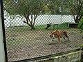 Espaço do tigre no Zoo de VR - panoramio.jpg