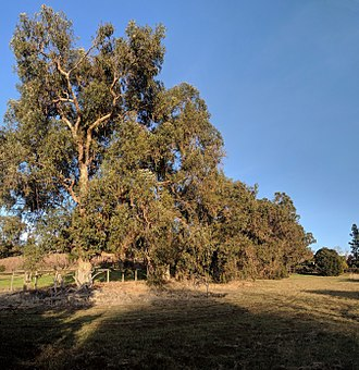 Los Altos Hills, California - Eucalyptus trees at Esther Clark Park, which is partly in Los Altos Hills and partly in Palo Alto