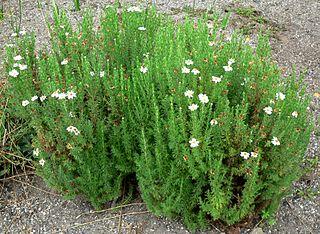 <i>Eumorphia</i> Genus of flowering plants