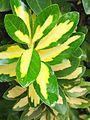 Euonymusjaponicuscultivar6 crop.jpg