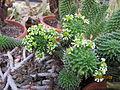 Euphorbia caput-medusae (4256691873).jpg