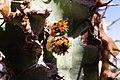 Euphorbia virosa- Gifboom - poison tree-0502 - Flickr - Ragnhild & Neil Crawford.jpg