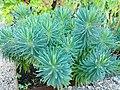 Euphorbiacea - Euphorbia charaole- Wolfsmelk.jpg