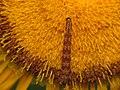 Eupithecia centaureata (9389381293).jpg